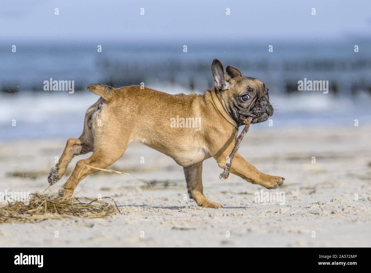 running french bulldog Stock Photo