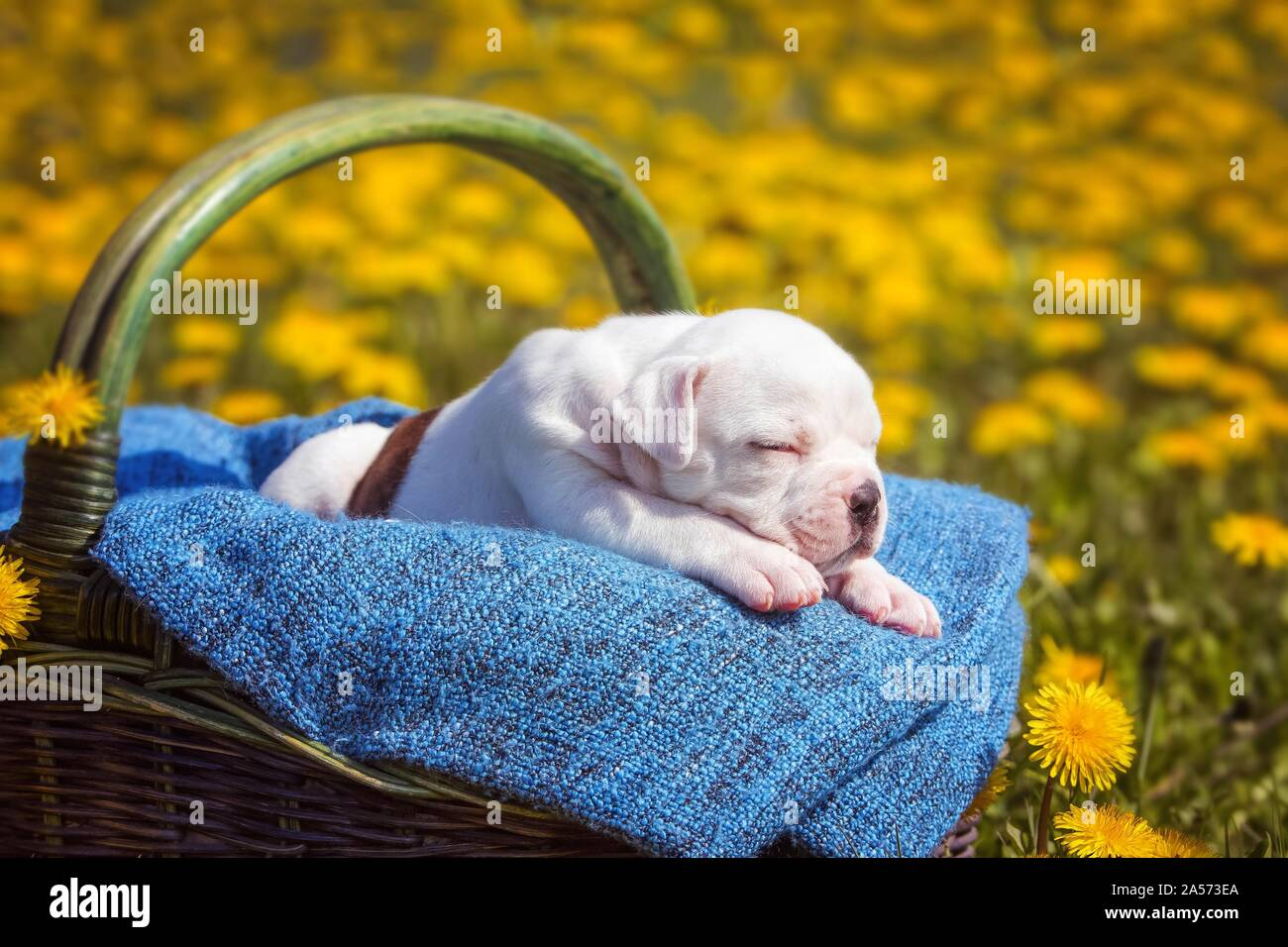 American Bulldog Puppy in a basket Stock Photo
