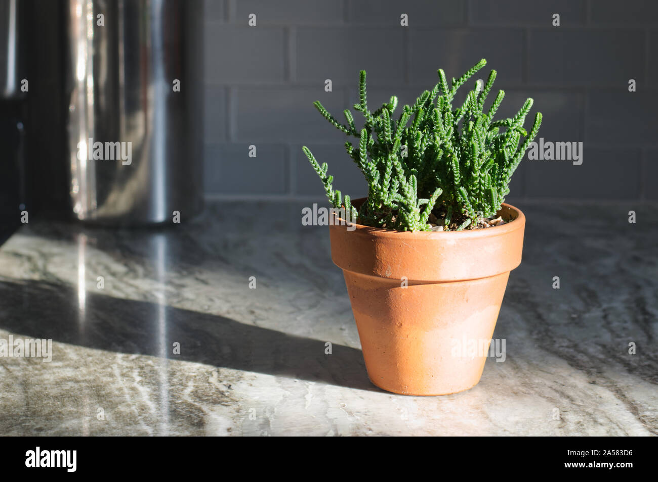 """Crassula Mucossa """"watch link"""" succulent on a grey marble countertop. Stock Photo"""