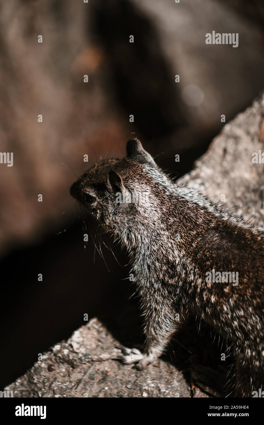 Cute squirrel in Yosemite National Park from above Stock Photo
