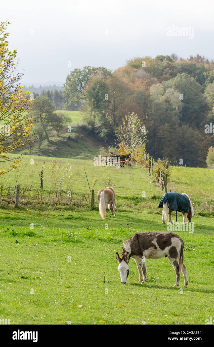 Equus africanus asinus, domestic donkey on a pasture in the countryside Stock Photo