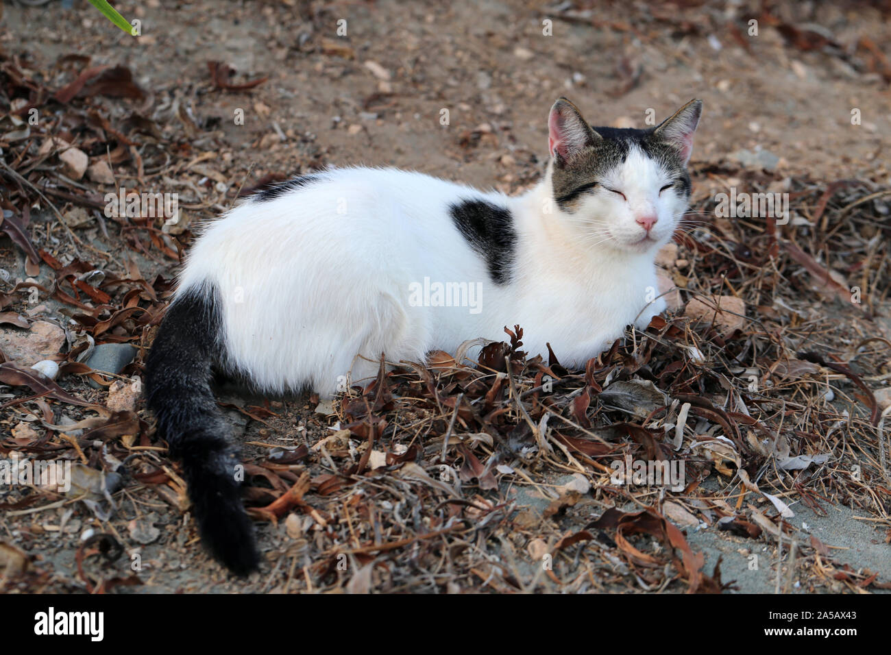 Wild Adult Cat Living In Cyprus Cute Soft And Furry White And Black Cat This Cat Is Laying On The Ground Looking Tired Sand And Dead Leaves Around Stock Photo Alamy