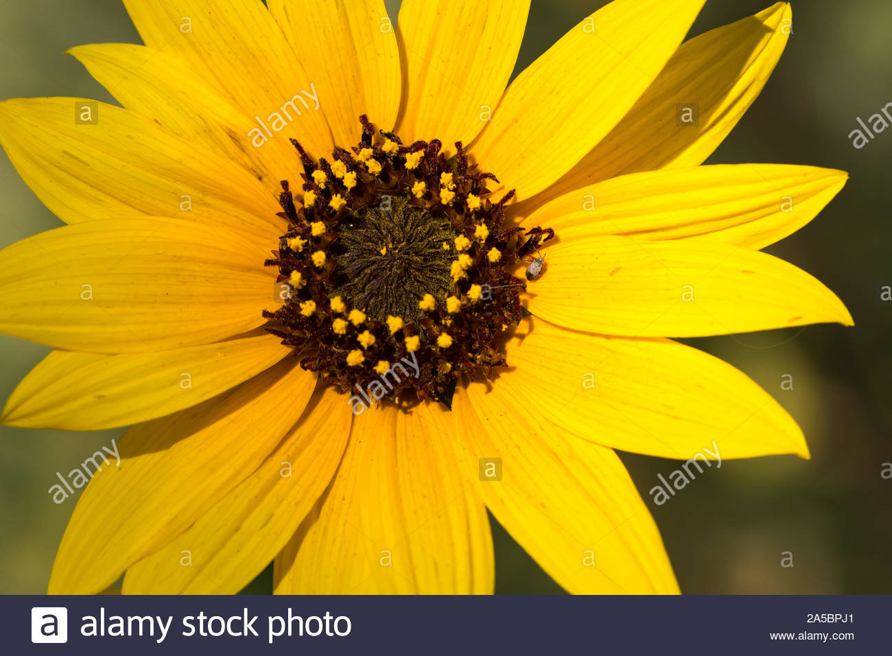 Yellow Flower With Brown Center Stock Photos Yellow Flower With