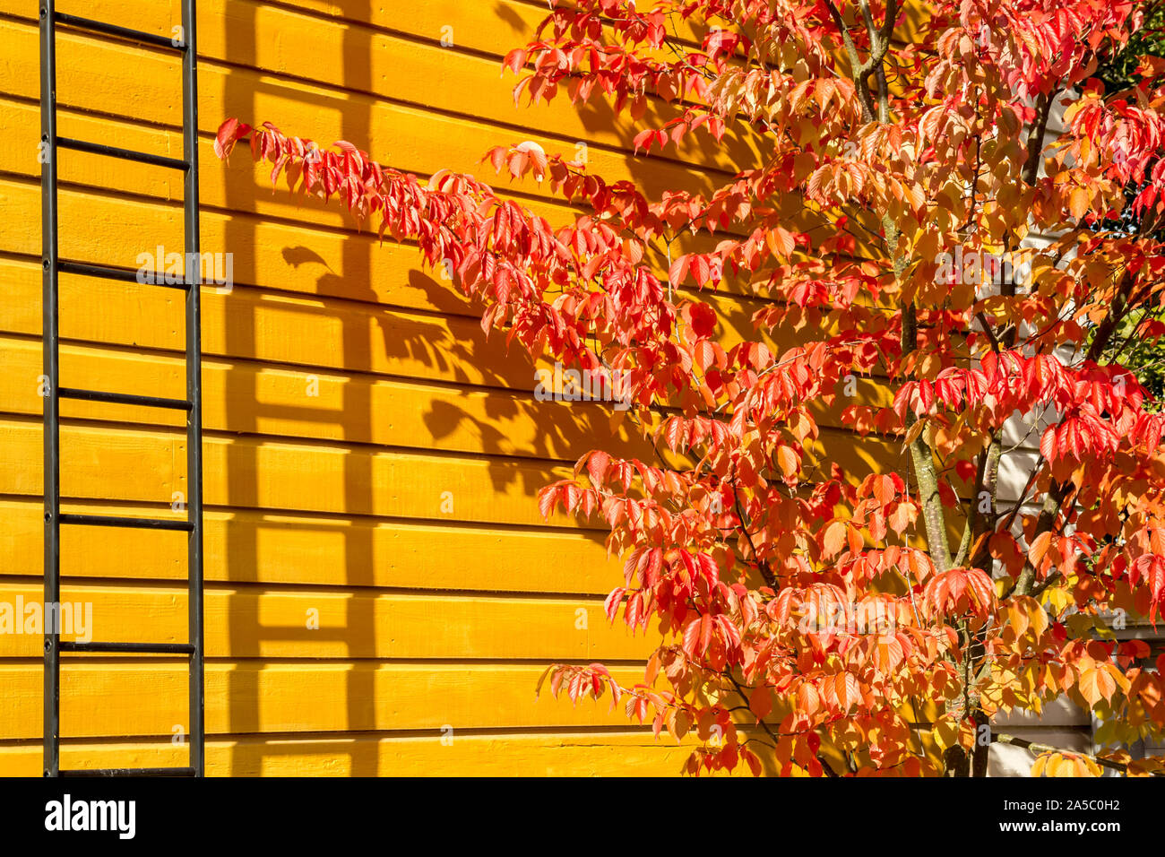 Sargent's Cherry (Prunus sargentii) tree in bright red autumn colors against yellow cottage wall Stock Photo