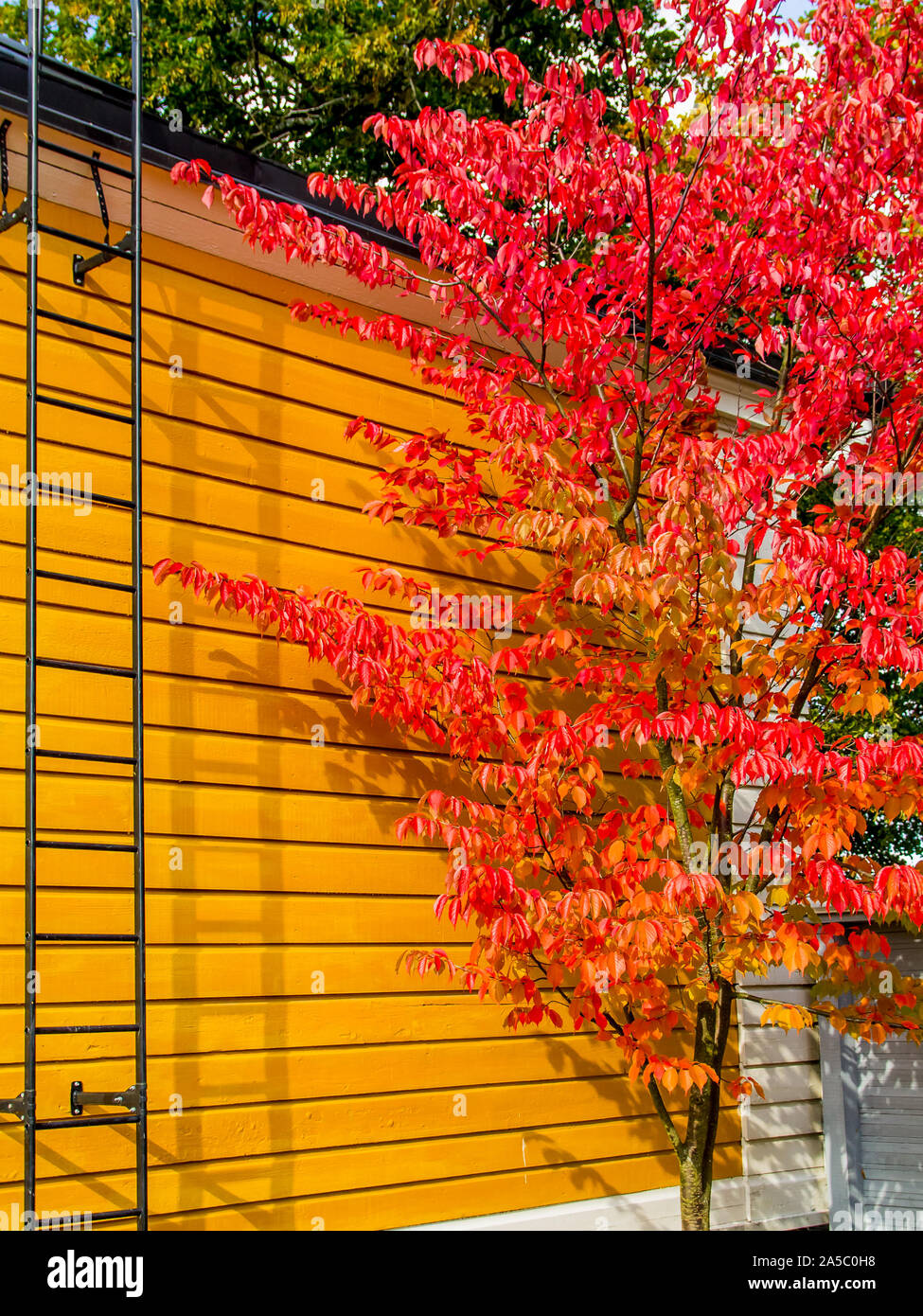 Bright red autumn colored Sargent's Cherry (Prunus sargentii) tree against yellow cottage wall - Portrait Stock Photo