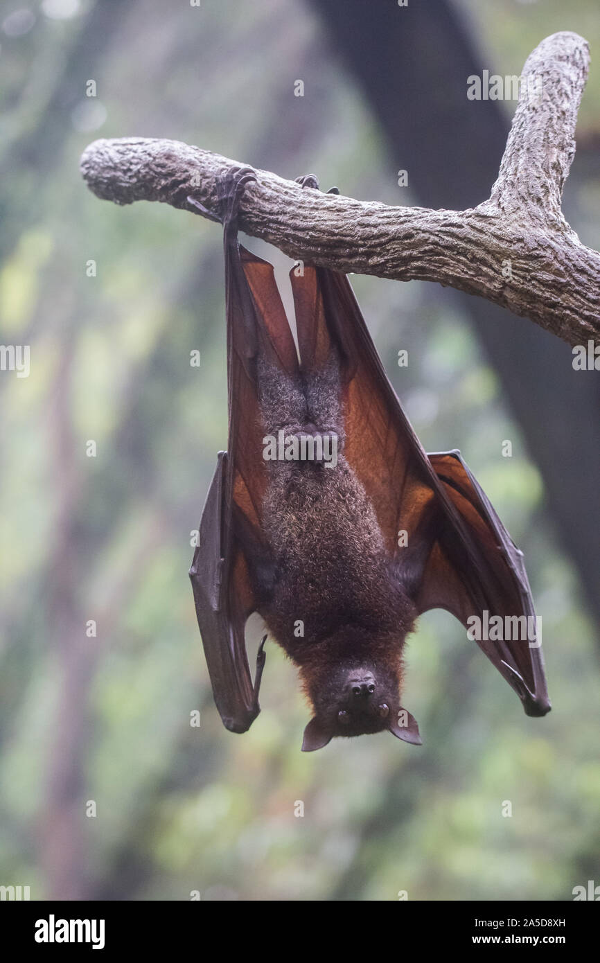 Fruit Bat Also Known As Flying Fox With Big Leather Wings Hanging Upside Down Swinging On Tree Branch On Sharp Claws Stock Photo Alamy