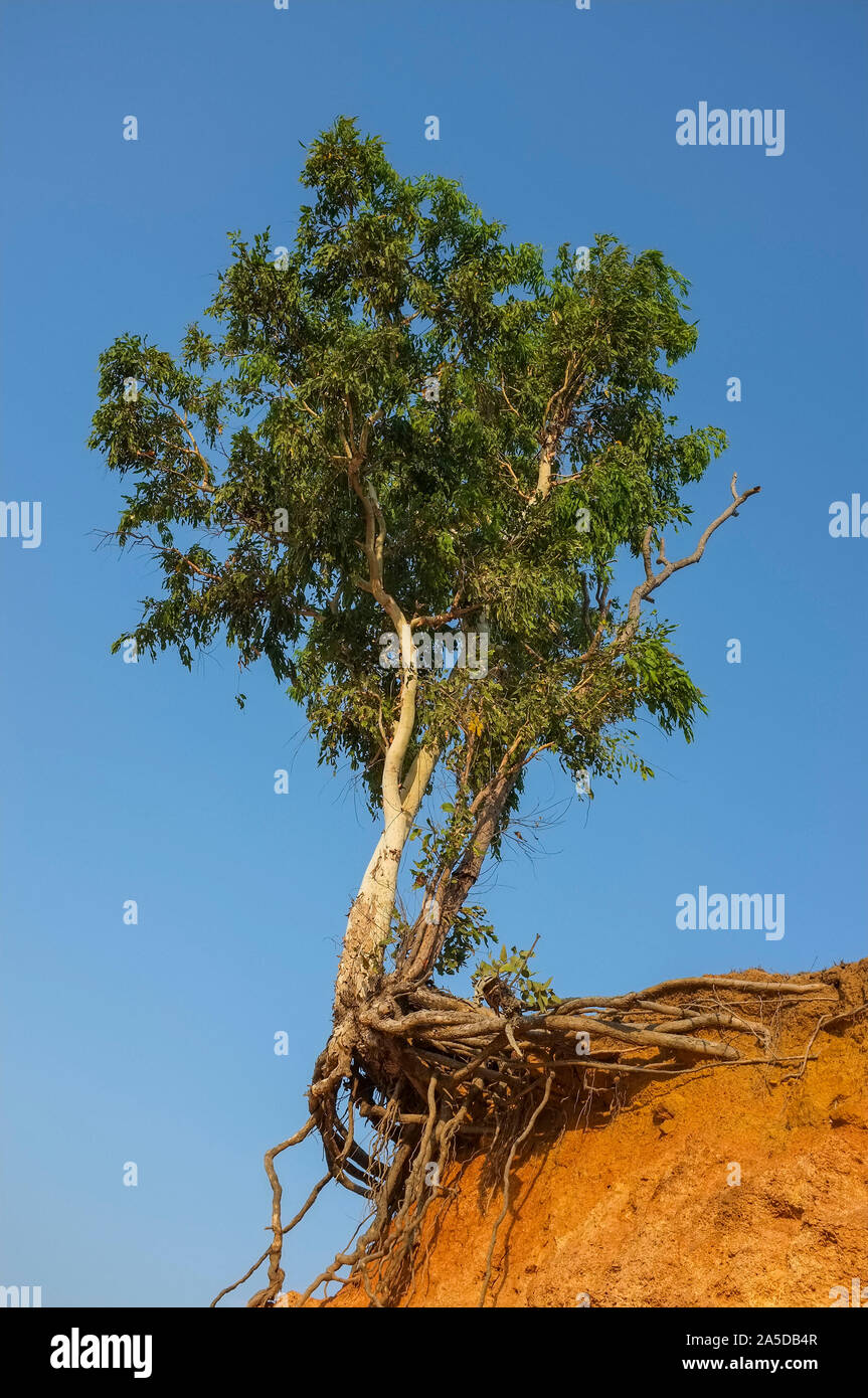 Tree on the edge of a cliff due to erosion. Stock Photo