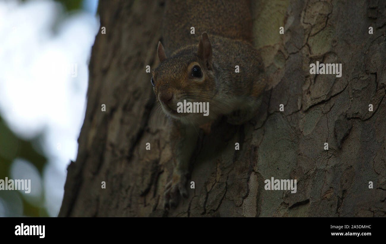 Grey squirrel on tree Stock Photo