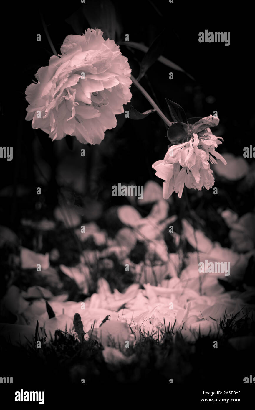 A rose loses its petals in late summer. Artistically filtered black and white. Stock Photo