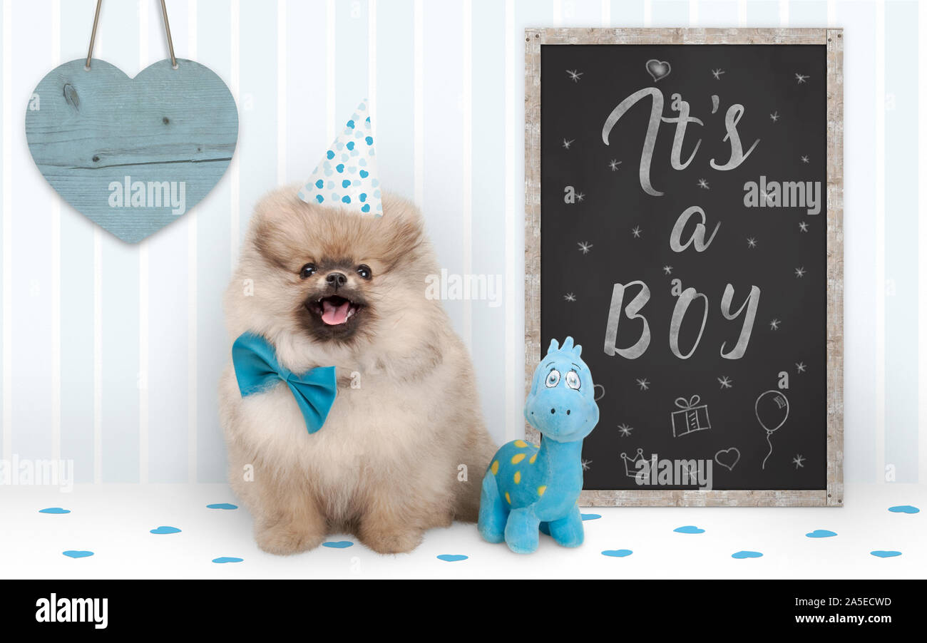 cute baby boy pomeranian puppy dog sitting next to blackboard with text it's a boy, with blue decoration and wooden heart Stock Photo