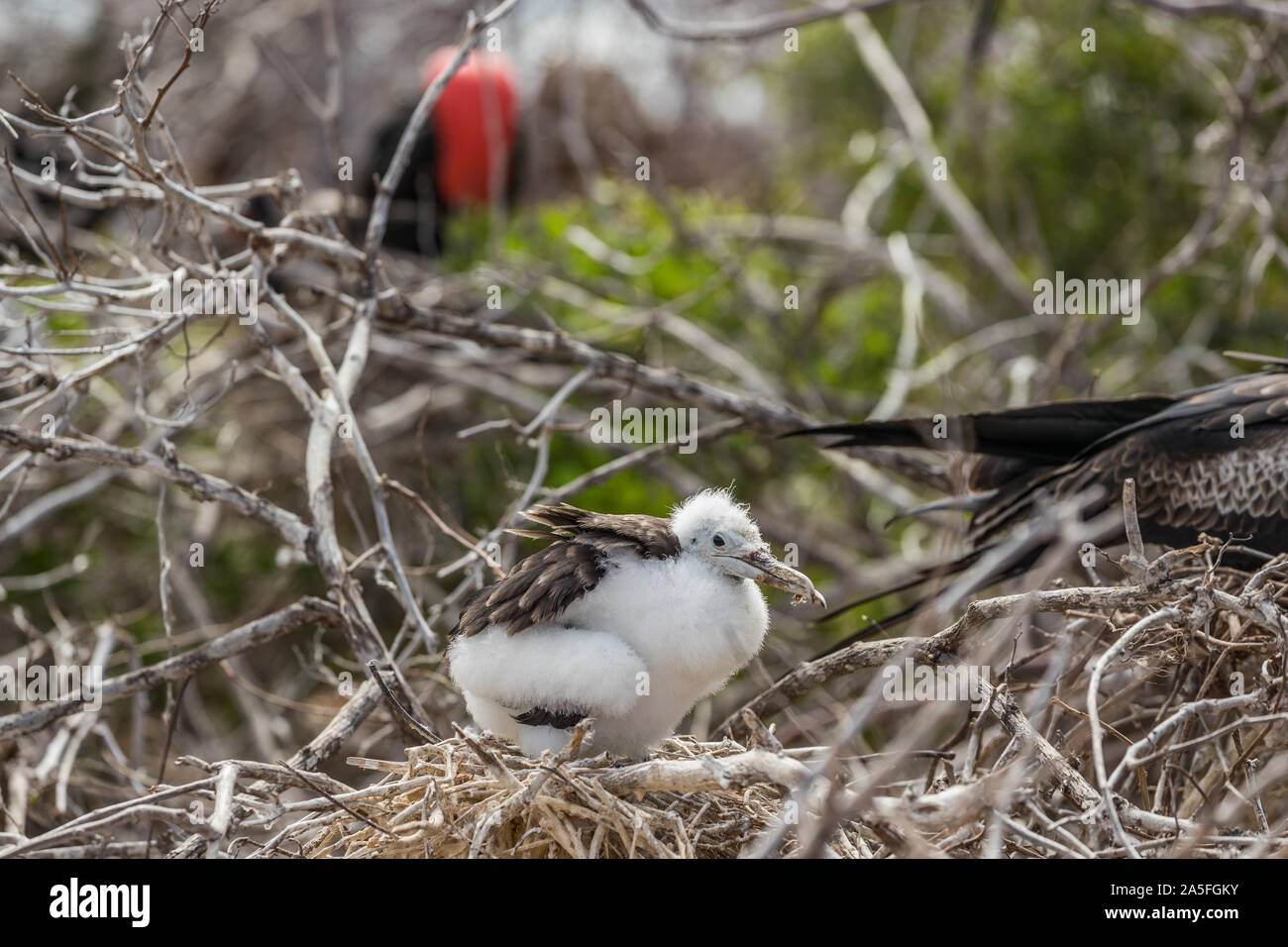 Frigatebird on Galapagos islands. Juvenile Magnificent Frigate-bird chick in birds nest, North Seymour Island, Galapagos Islands. Male frigate bird with inflated red neck gular pouch in background Stock Photo