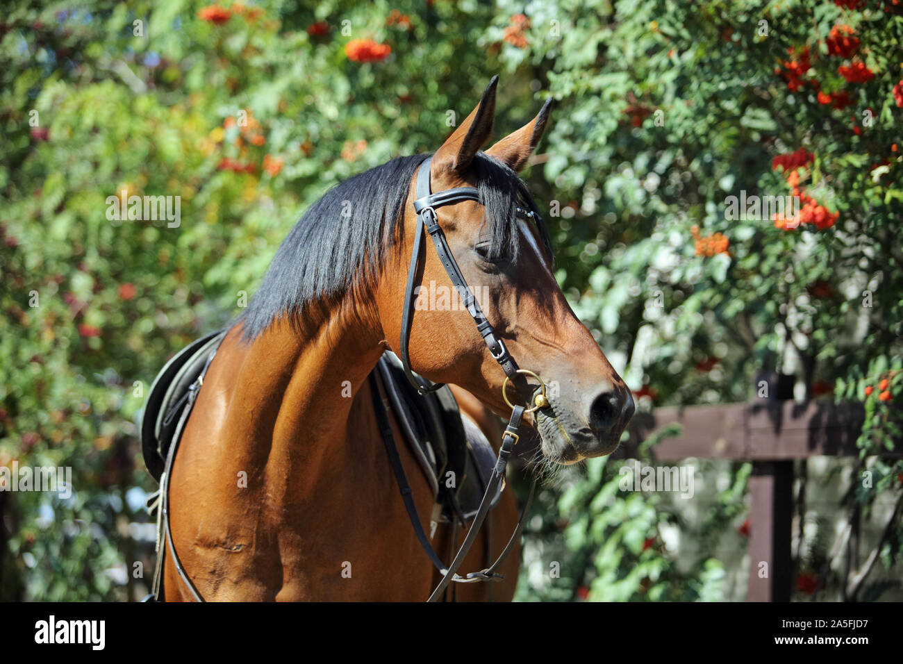 Purebred Arabian Horse Portrait Of A Bay Mare With Jewelry Bridle In Autumn Nature Background Stock Photo Alamy