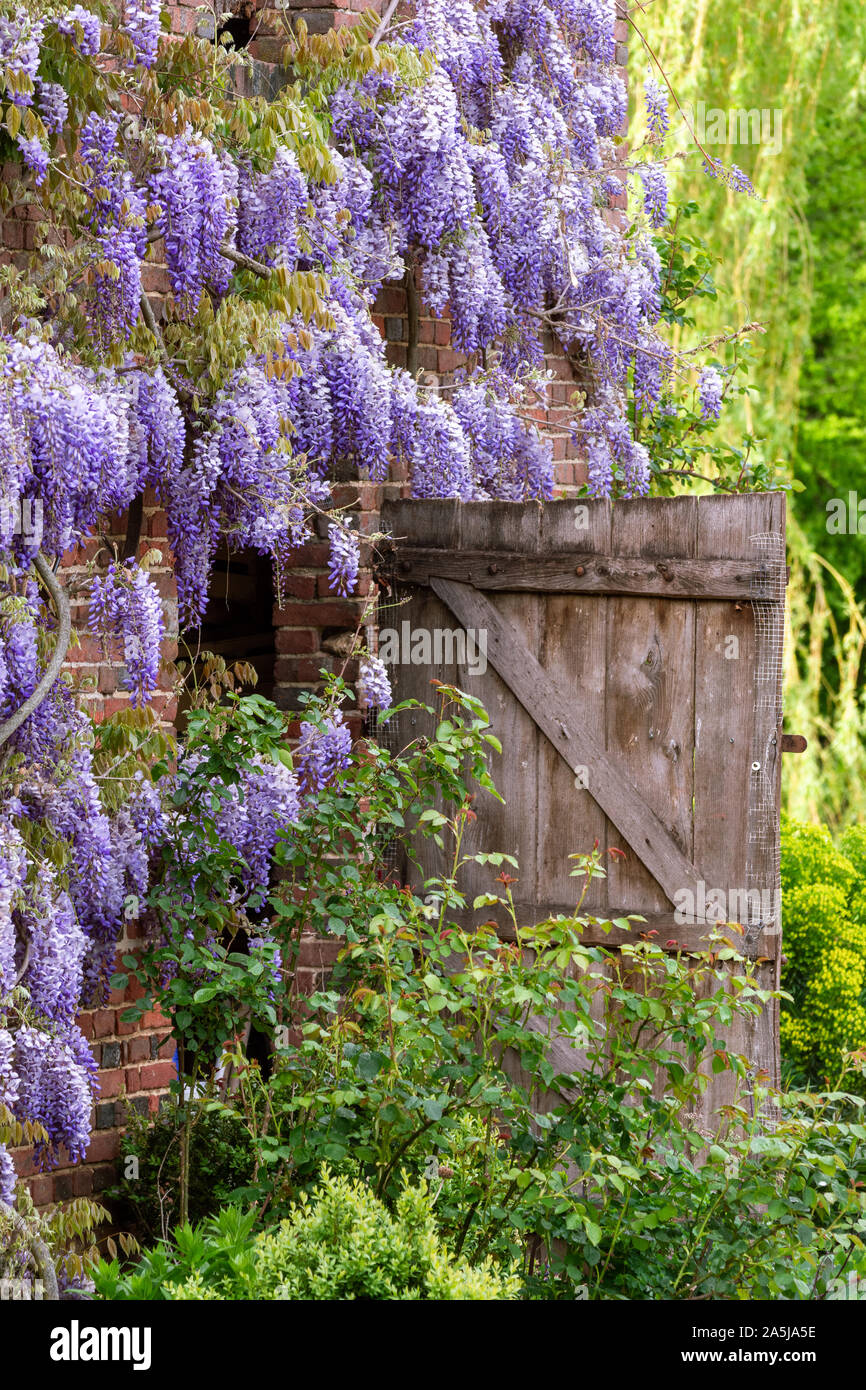 Wisteria blooming on a French farm house Stock Photo