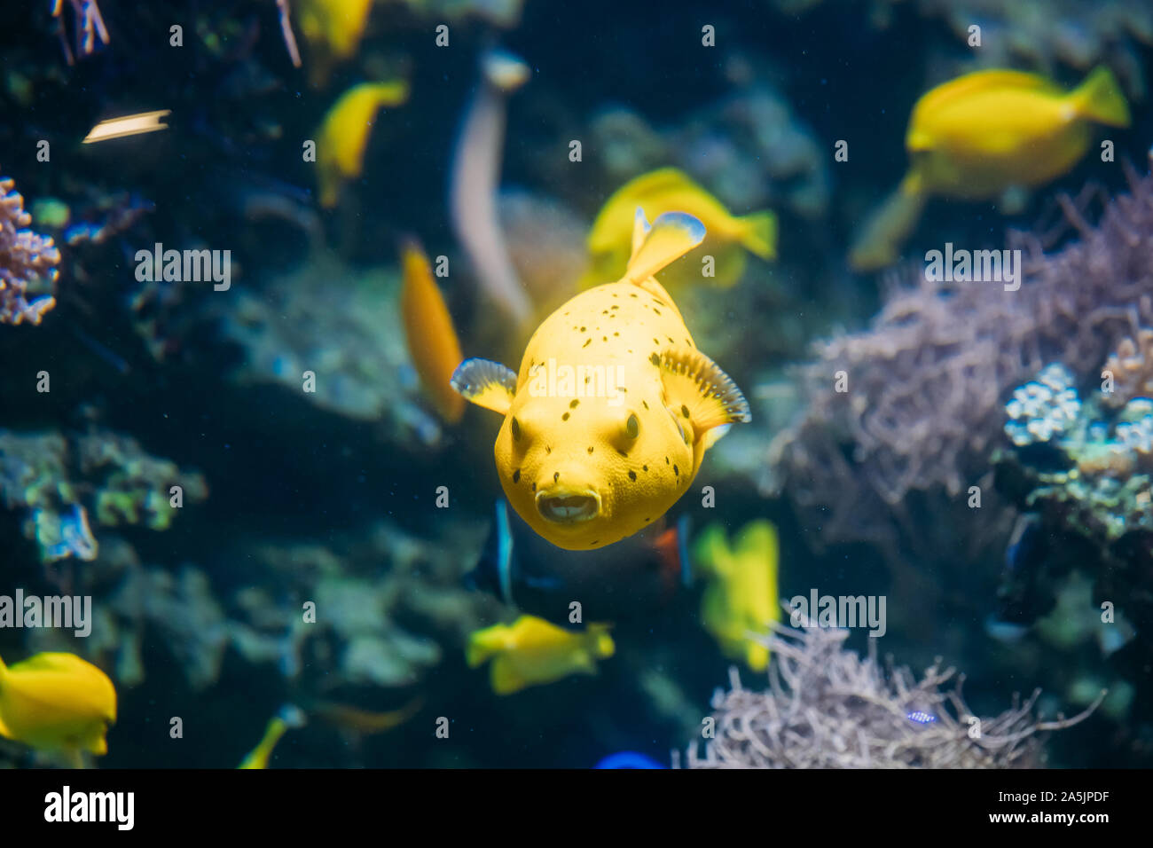 Yellow Blackspotted Puffer Or Dog-faced Puffer Fish Arothron Nigropunctatus Swimming In Water. If Not Prepared Properly, Toxin Found In Pufferfish - T Stock Photo
