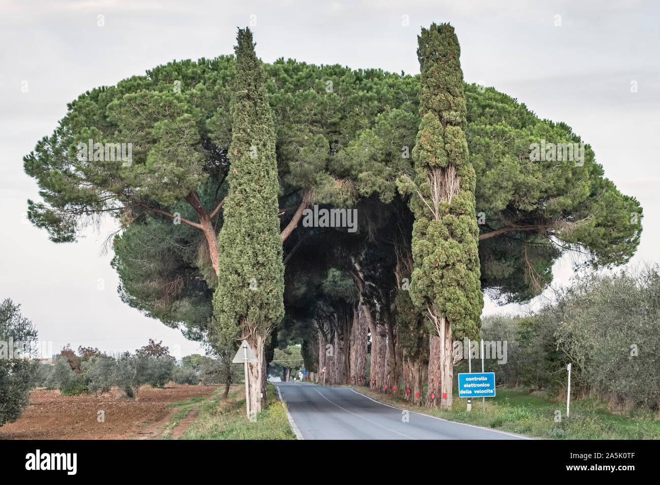 Umbrella pines (also stone pines, pinus pinea) and cypresses shade a country road in southern Tuscany Stock Photo