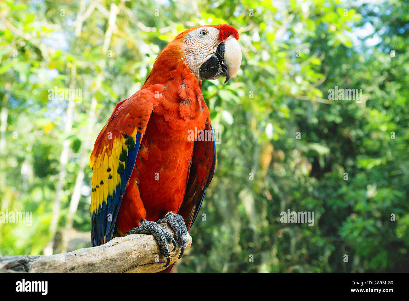Flower of bird of paradise Strelitzia reginae Sperling`s Parrot