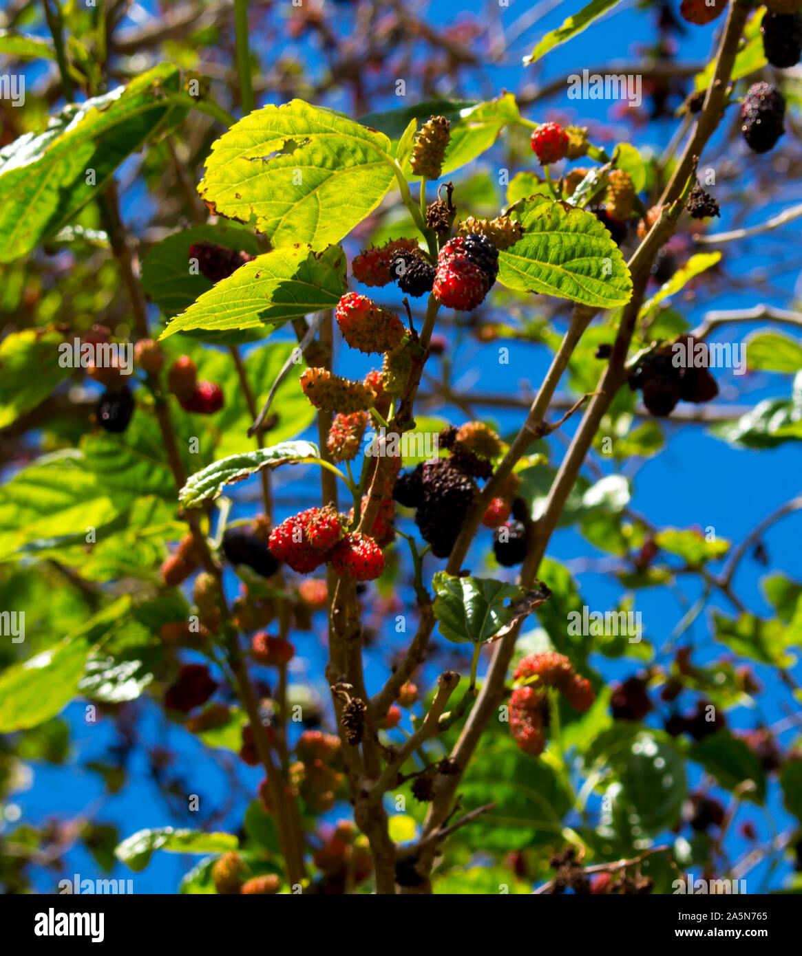 Morus Alba Pendula Weeping Mulberry Tree A Beautiful Small Tree