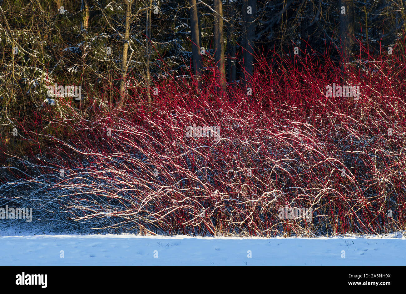 Winter landscape with red willow bush covered with snow and illuminated by the sun Stock Photo