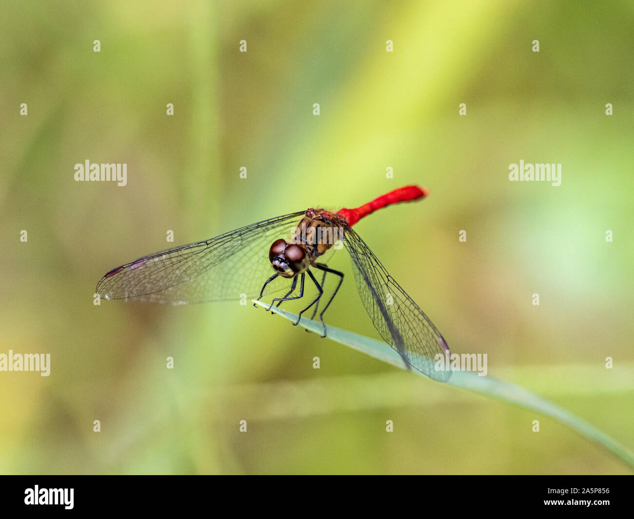 Japanese sympetrum risi yosico dragonflies, part of a family of dragonflies known as darters or meadowhawks, perches on a leaf in a Japanese park. Stock Photo