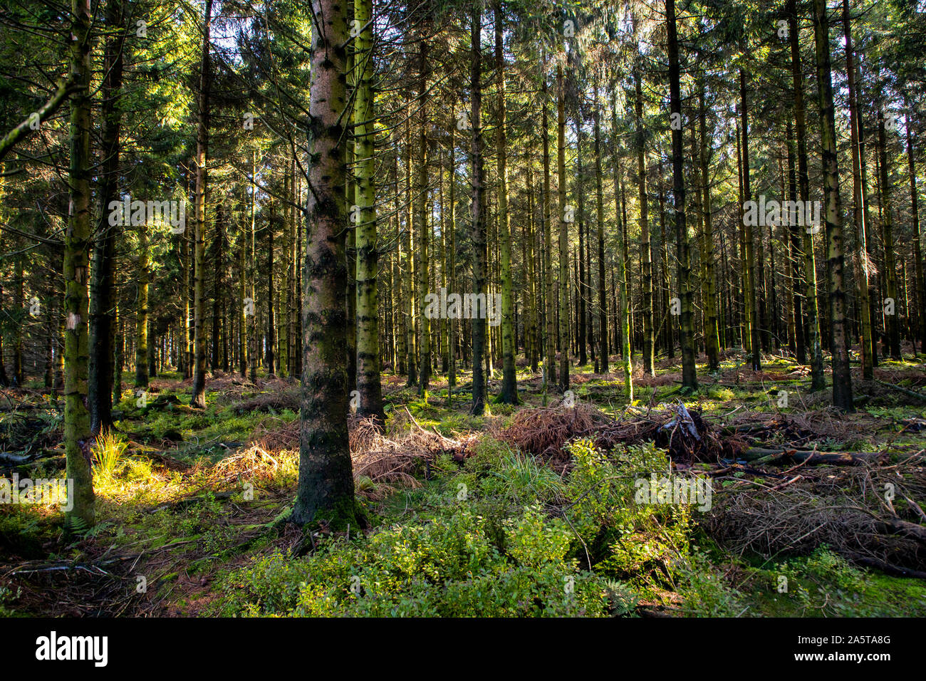 Belgium, Wallonia, the High Fens, high moor, in the Eifel and Ardennes region, High Fens Eifel Nature Park, northeast of Baraque Michel, Stock Photo