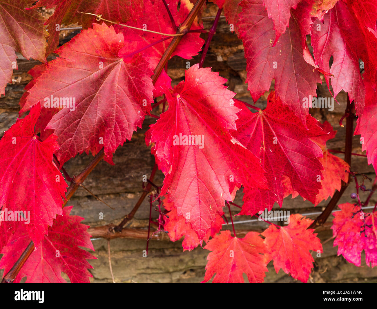 Red bronze autumn foliage of the ornamental grape vine, Vitis vinifera 'Spetchley Red' Stock Photo