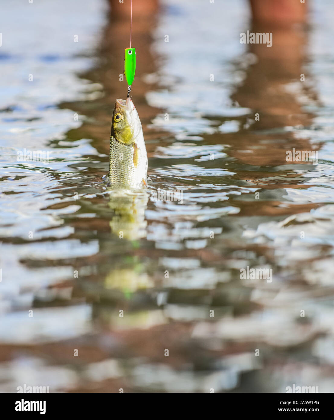 fall into the trap. fish on the hook. trout bait. catch fish. fishing on lake. hobby and sport activity. good catch. fly fishing trout. recreation and leisure outdoor. stalemate and hopelessness. Stock Photo