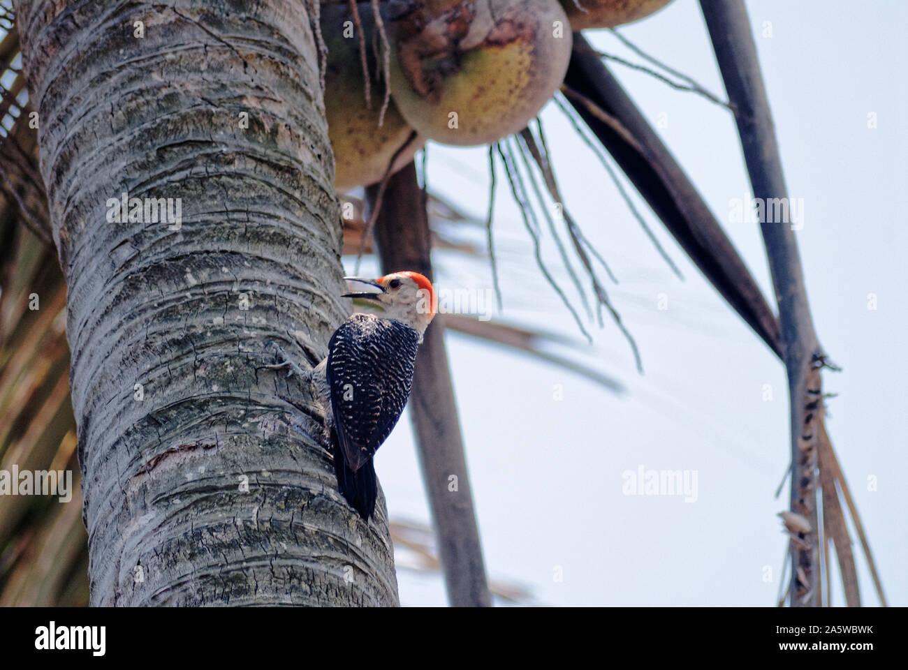 Coatzacoalcos, Veracruz, Mexico - April 24, 2014: Golden-fronted woodpecker on a coconut palm tree Stock Photo