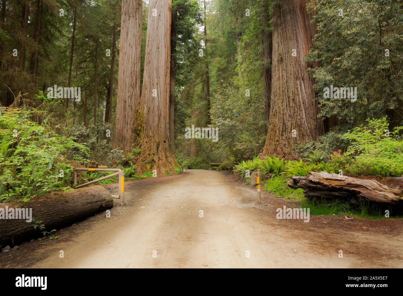 CA03751-00...CALIFORNIA - Redwood trees lining the Howland Road in Jedediah Smith Redwoods State Park; part of the Redwoods National and State Parks. Stock Photo