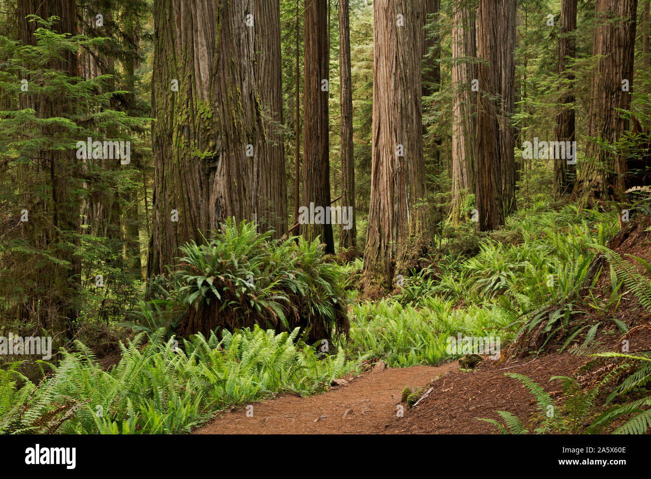 CA03755-00...CALIFORNIA - Tall trees growing along the Boy Scout Trail in Jedehiah Smith Redwoods State Park, part of the Redwoods National and State Stock Photo