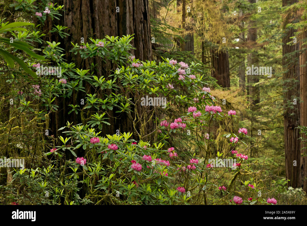 CA03760-00...CALIFORNIA - Rhododendron in bloom near a giant redwood tree located along the Boy Scout Tree Trail in Jedediah Smith Redwoods State Park Stock Photo