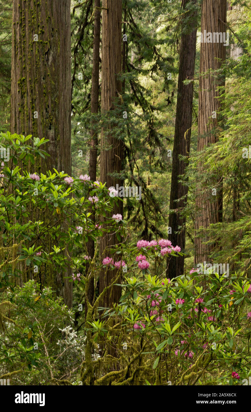 CA03762-00...CALIFORNIA - Rhododendron in bloom near a giant redwood tree located along the Boy Scout Tree Trail in Jedediah Smith Redwoods State Park Stock Photo