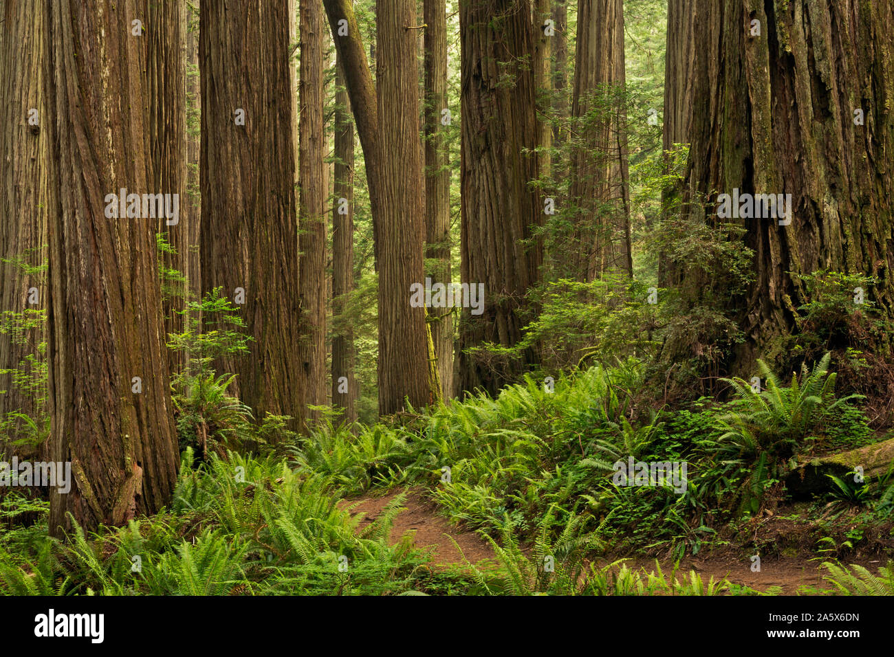 CA03763-00...CALIFORNIA - The Boy Scout Tree Trail winding through a redwood forest in Jedediah Smith Redwoods State Park; part of Redwoods National a Stock Photo