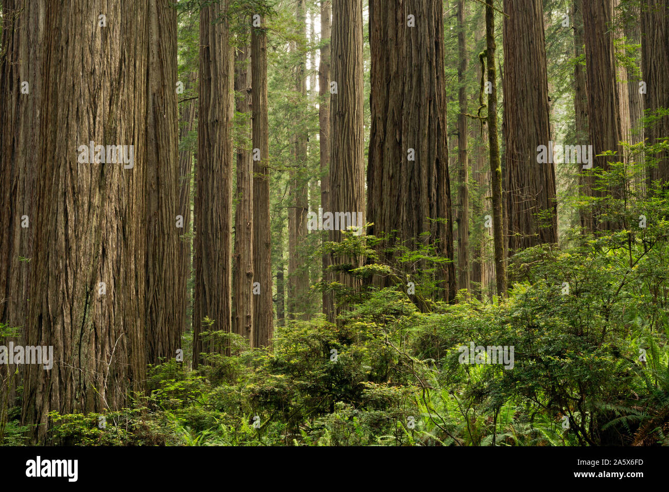 CA03764-00...CALIFORNIA - Redwood forest in Jedediah Smith Redwoods State Park; part of Redwoods National and State Parks complex. Stock Photo