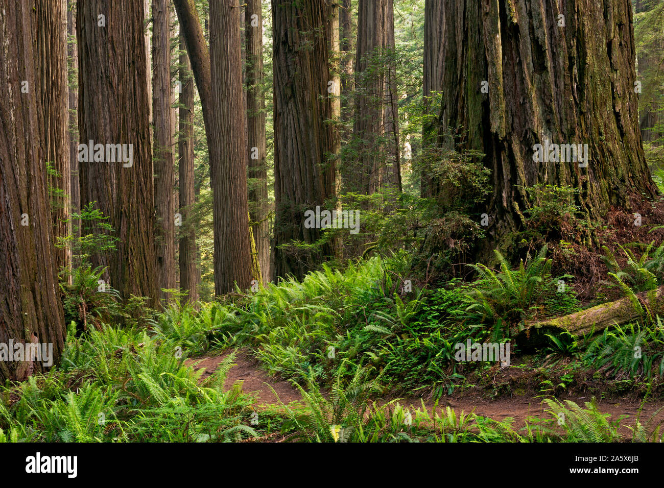 CA03766-00...CALIFORNIA - The Boy Scout Tree Trail winding through a redwood forest in Jedediah Smith Redwoods State Park; part of Redwoods National a Stock Photo