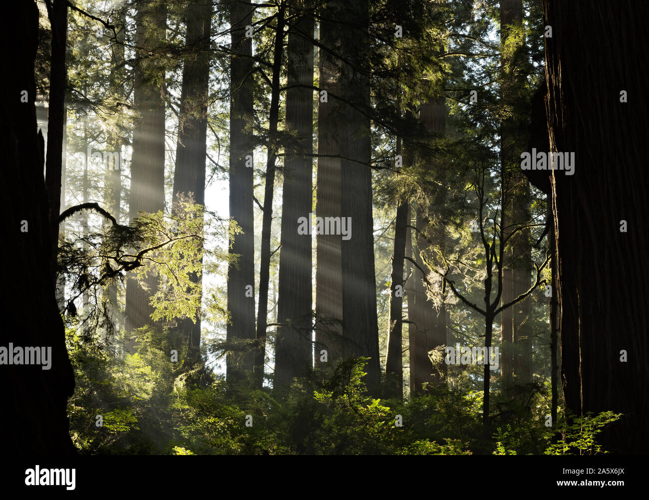 CA03767-00...CALIFORNIA - Sunlight breaking through a layer of fog in the redwood forest along the Boy Scout Trail in Jedediah Smith Redwoods SP. Stock Photo