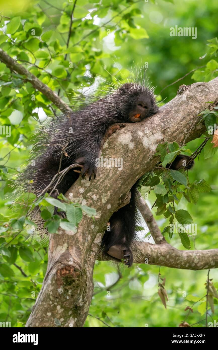 North American porcupine (Erethizon Dorsatum) sleeping on branch, Germany Stock Photo