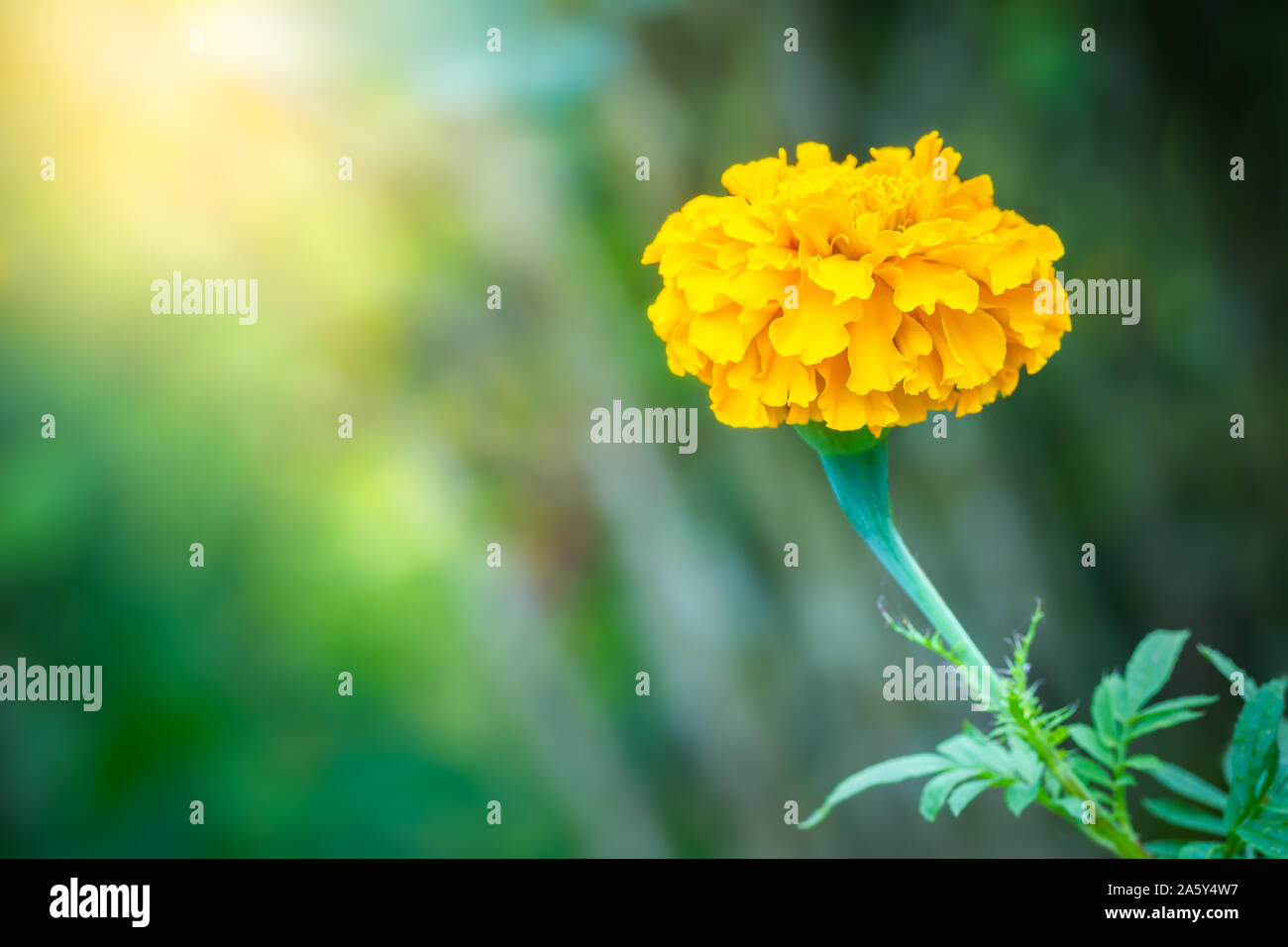 marigold flower in green natural and blur background closeup and copy space 2A5Y4W7