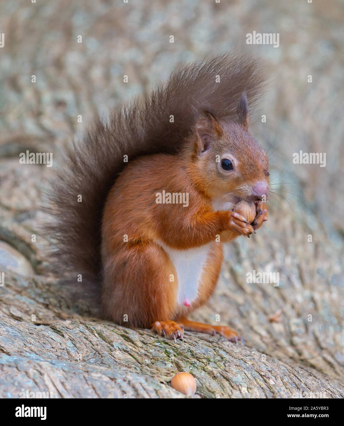 Red Squirrels, Peacocks and Magpies Stock Photo