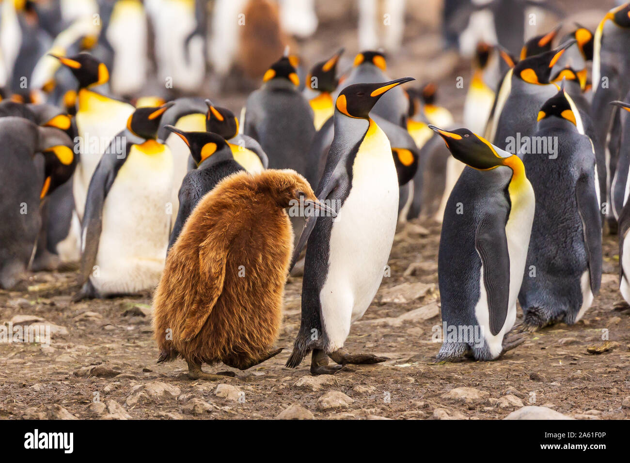 adult king penguin leads older chick through colony looking like any parent with a grumpy teenager at gold harbour, south georgia Stock Photo