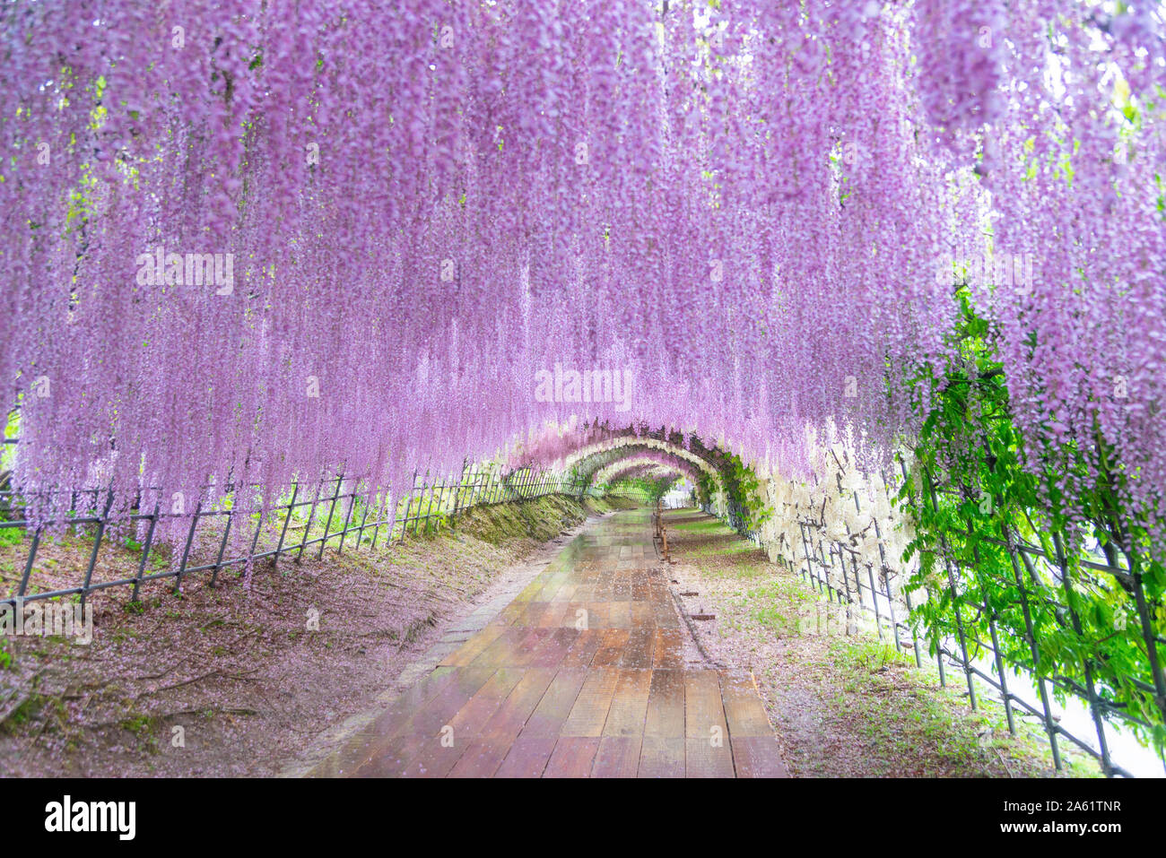 Wisteria Tunnel At Kawachi Fuji Garden Stock Photo 330726307 Alamy
