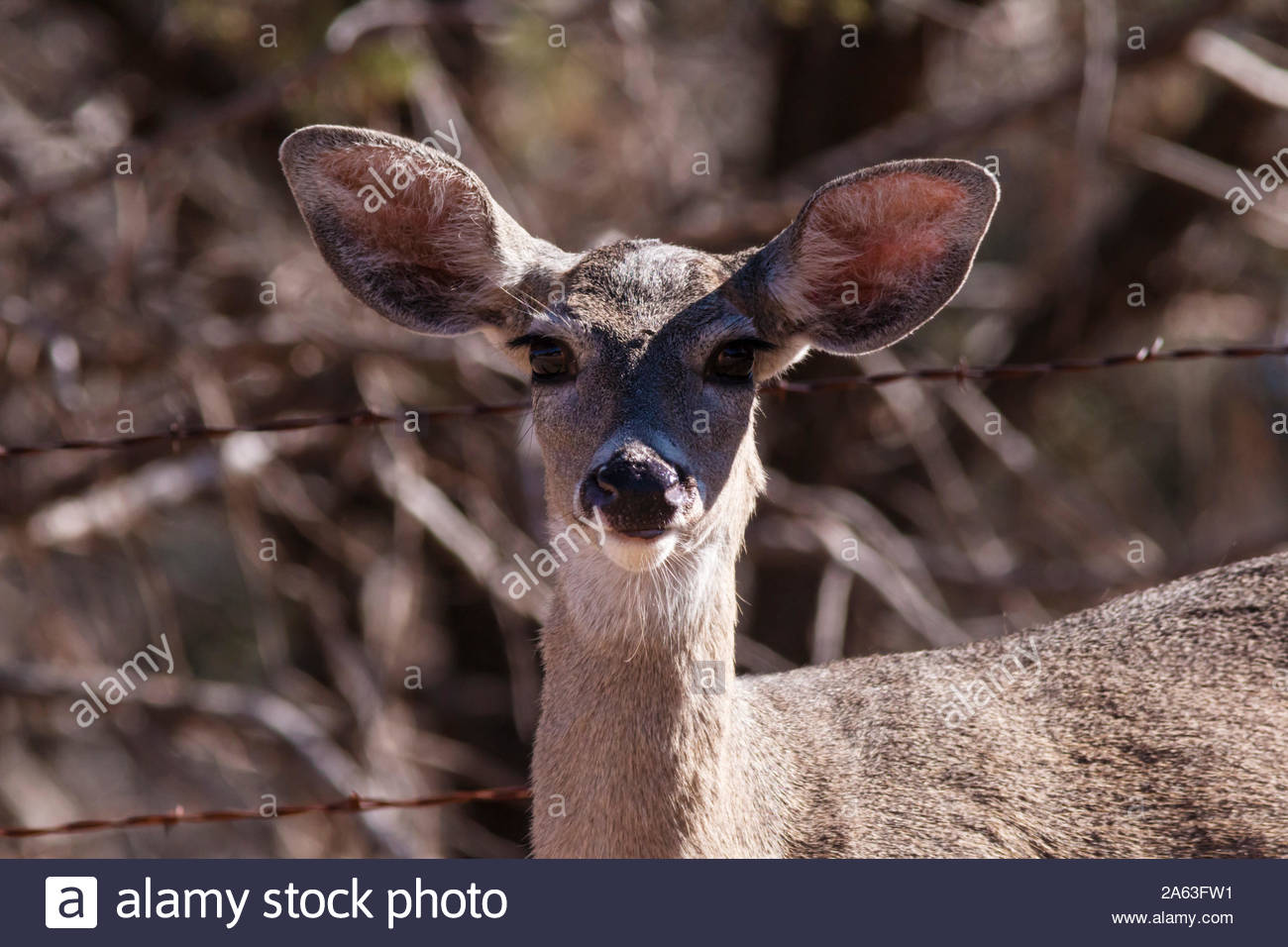coues deer arizona white tailed deer odocoileus virginianus couesi doe standing in arizona usa 2A63FW1