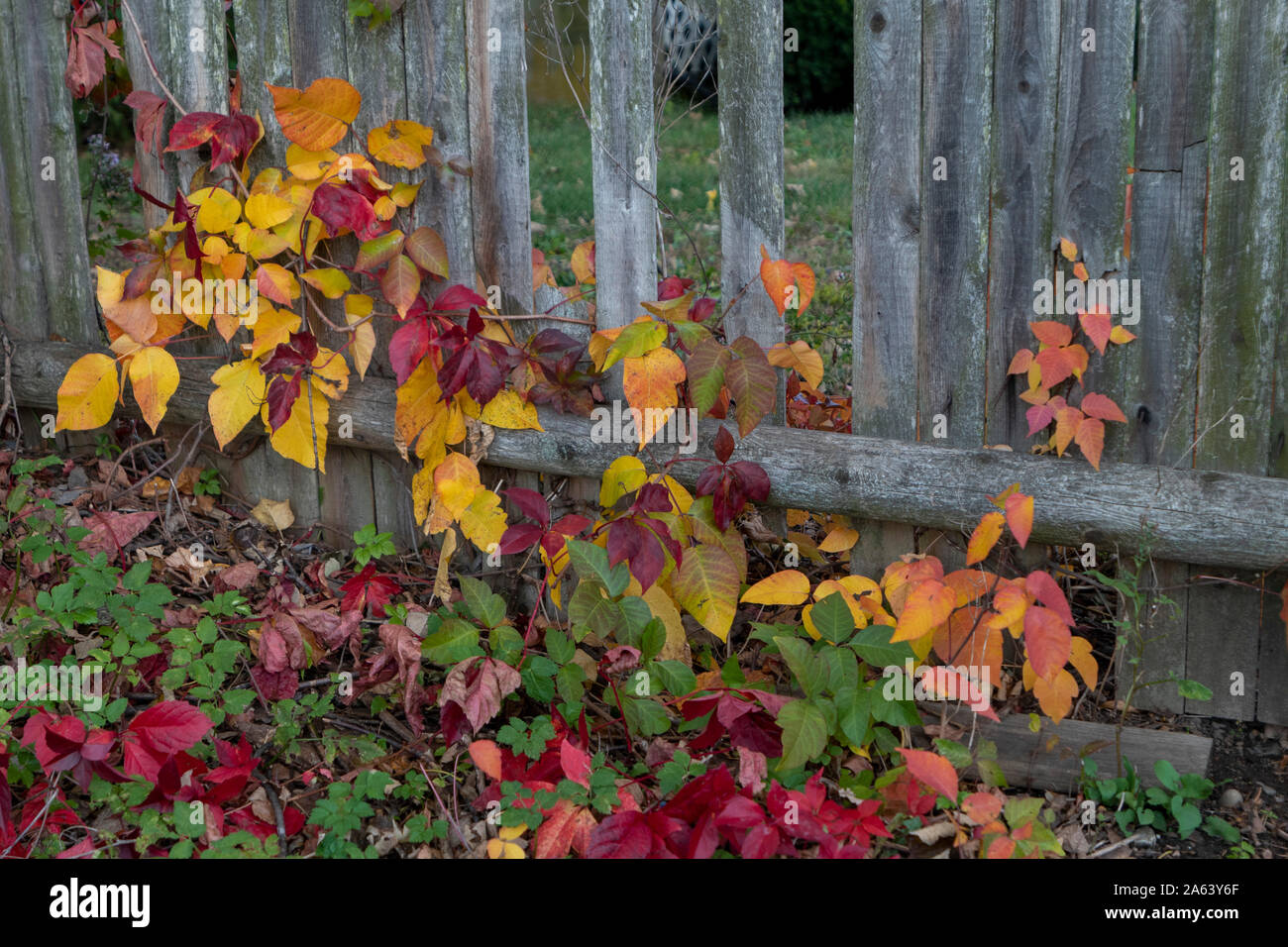 Fall foliage on an old wooden fence in New England Stock Photo