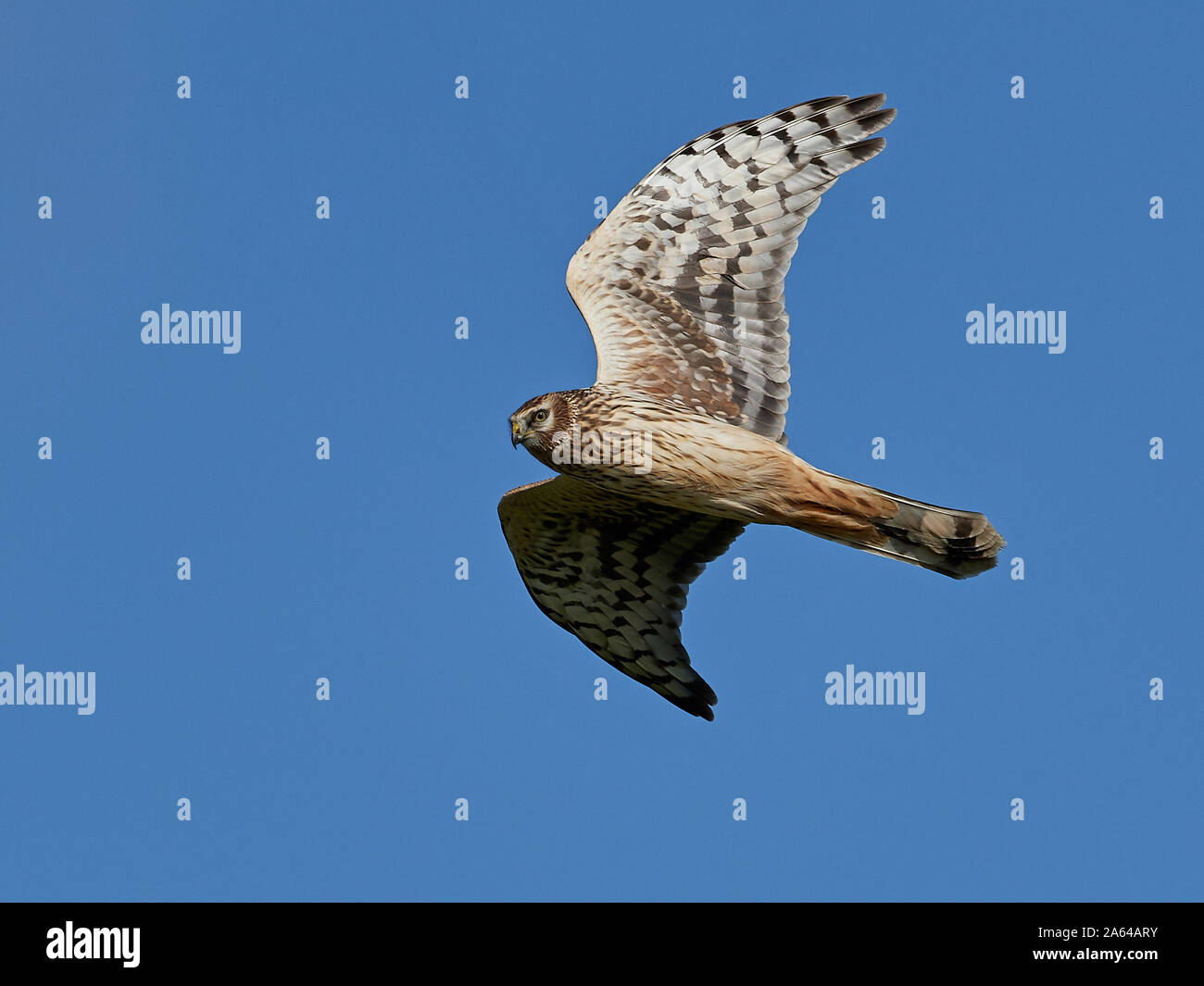 Hen harrier in flight with blue skies in the background Stock Photo