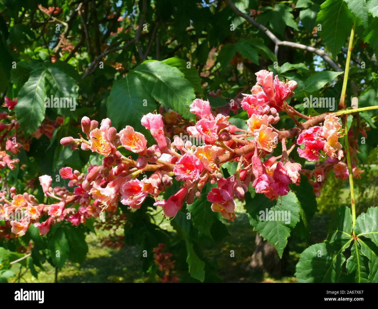 red horse-chestnut, Fleischrote Rosskastanie, Aesculus × carnea, húspiros virágú vadgesztenye Stock Photo