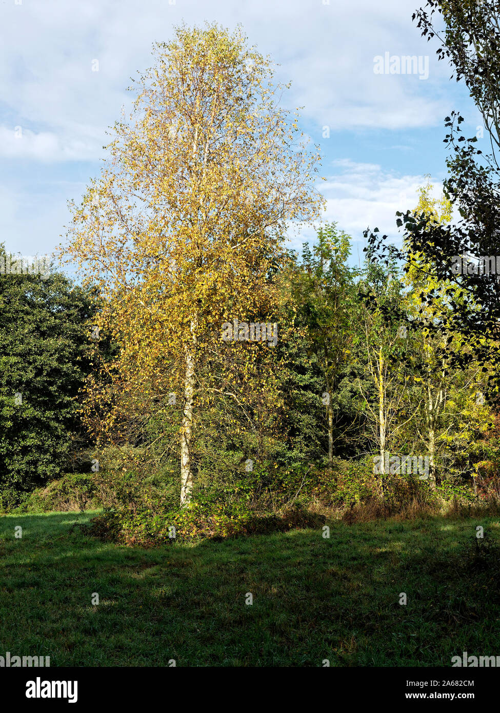 A silver birch tree (Betula pendula) with pale white trunk and golden autumn leaves in Pigney's Wood nature reserve near North Wlasham, Norfolk. Stock Photo