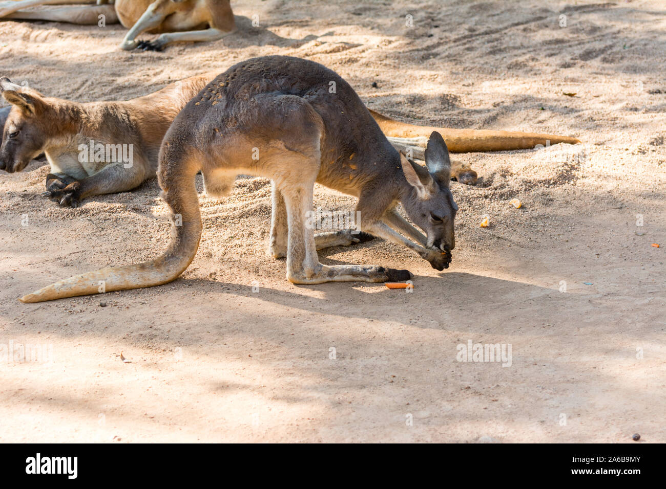 Kangaroo Eating Food In A Zoo A Leaping Mammal Of Australia And Nearby Islands That Feeds On Plants Stock Photo Alamy