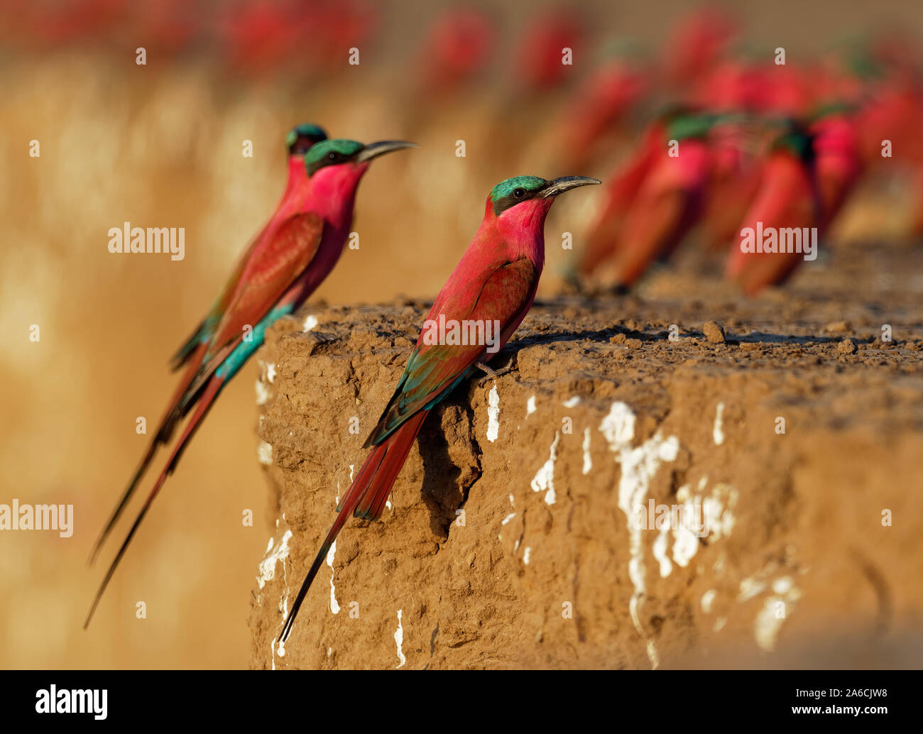 Beautiful red bird - Southern Carmine Bee-eater - Merops nubicus nubicoides flying and sitting on their nesting colony in Mana Pools Zimbabwe, Africa. Stock Photo