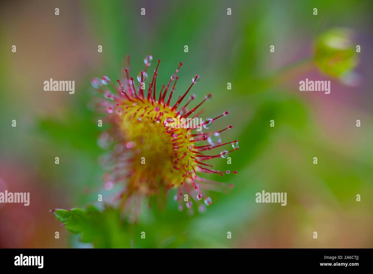 Round-leaved sundew or common sundew (Drosera rotundifolia), Rundsileshår Stock Photo