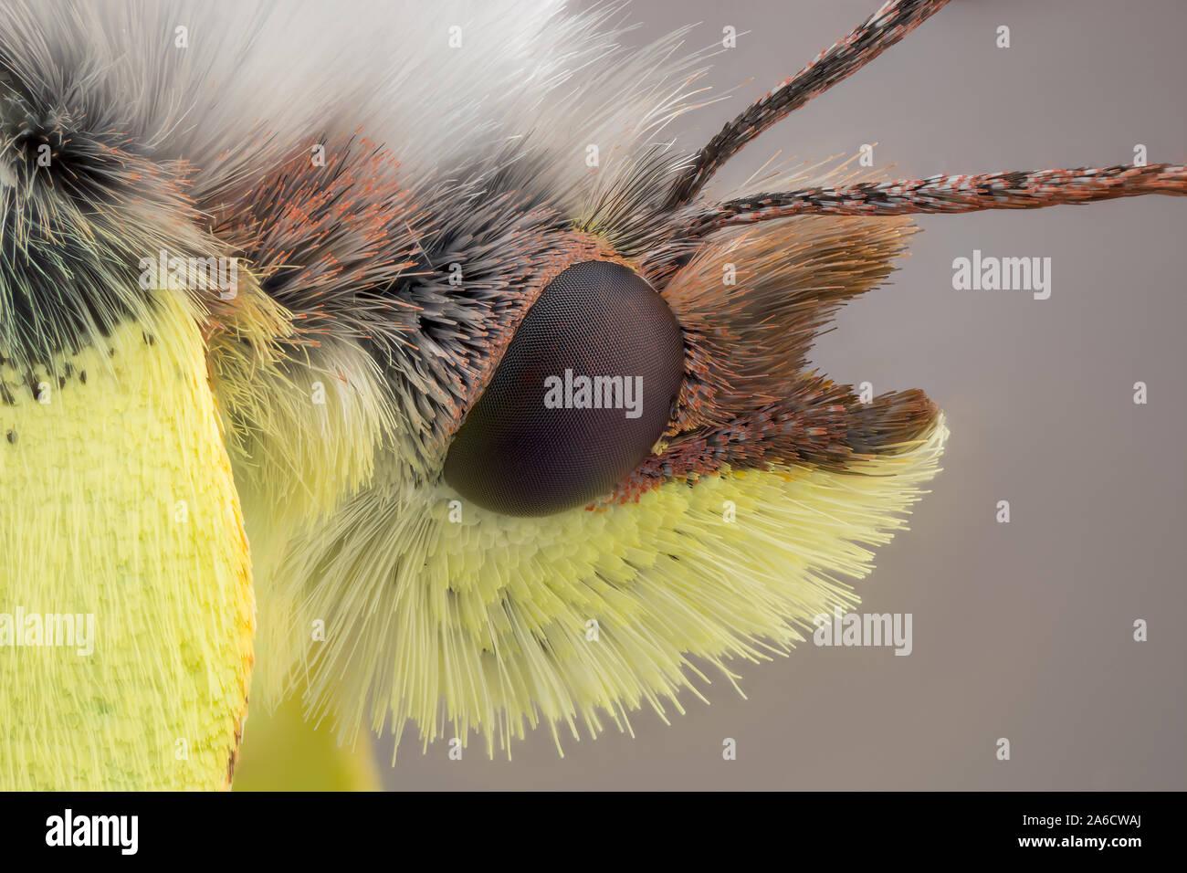Common Brimstone, Gonepteryx rhamni, Citronfjäril Stock Photo