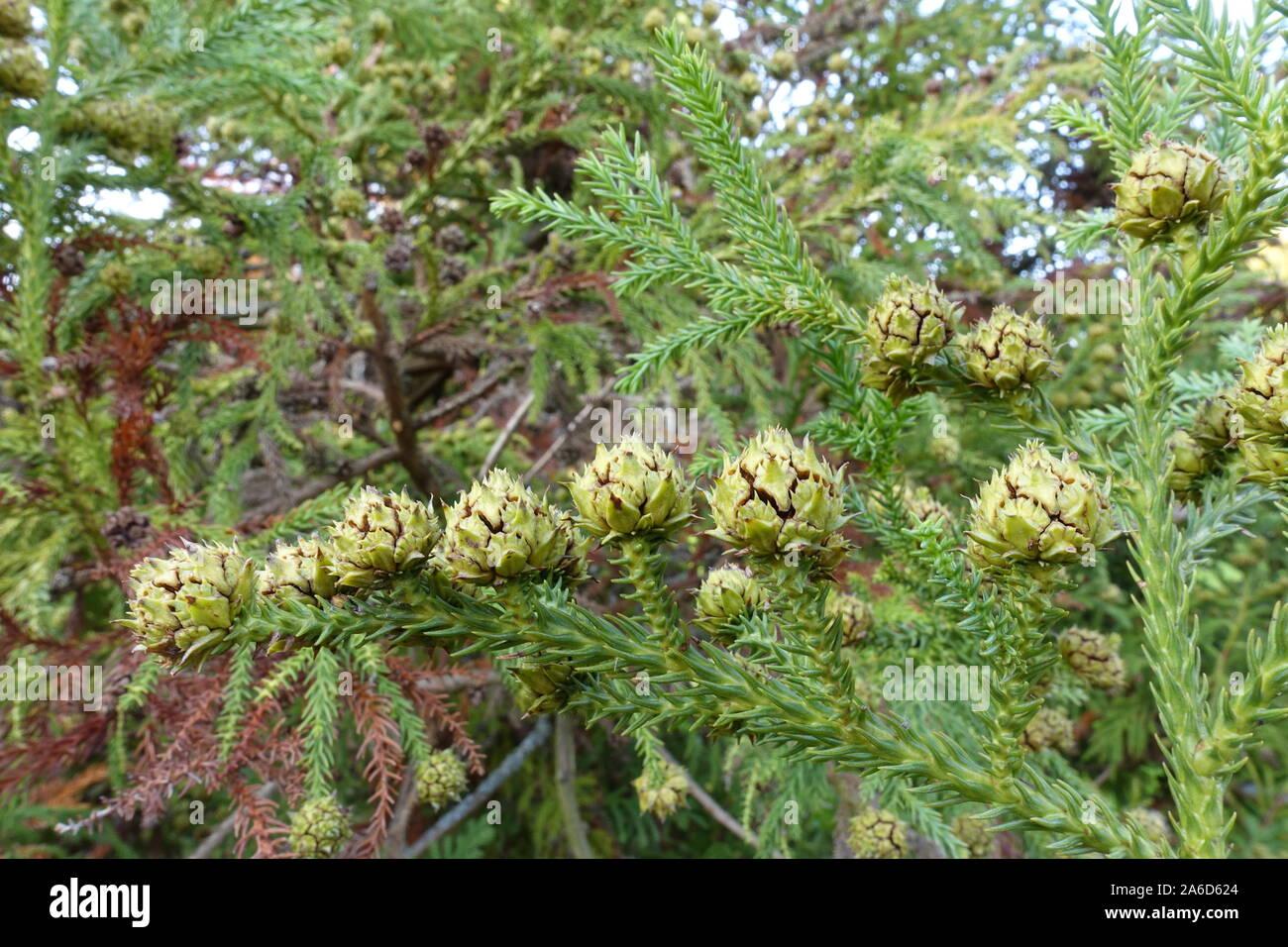 Cryptomeria japonica Gracilis japanische Sicheltanne